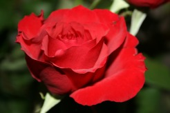 writers-voice-rose-pink-143445_1920.jpg
