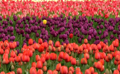 extraordinary-in-ordinary-tulips-175605_1280.jpg