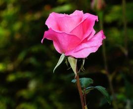 power-of-writing-simply-rose-441930_1920.jpg