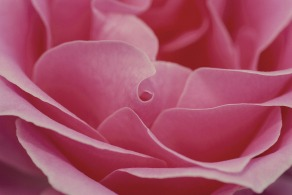 uses-of-resumes-pink-rose-600598_1920.jpg